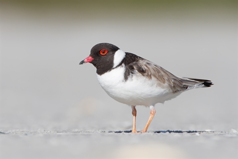 Hooded Plover image by JJ Harrison